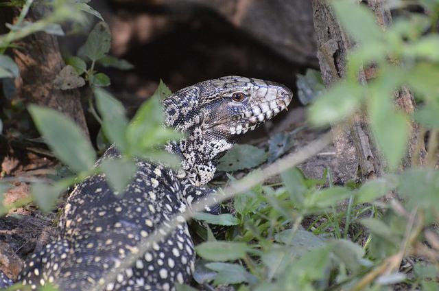 iguana campamentil